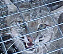Bobcat in cage trap