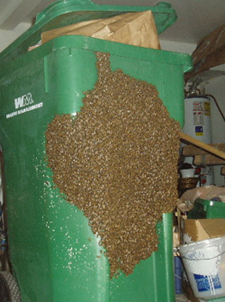 Bee swarm on trash barrel